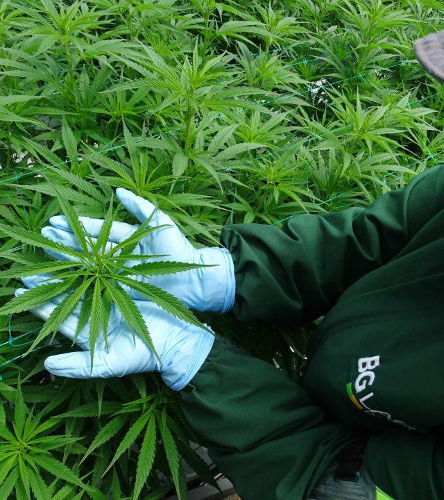 cuidado cannabis